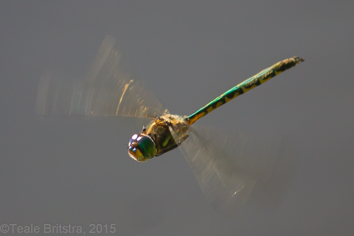 commons file wikimedia emerald dragonfly australian wiki