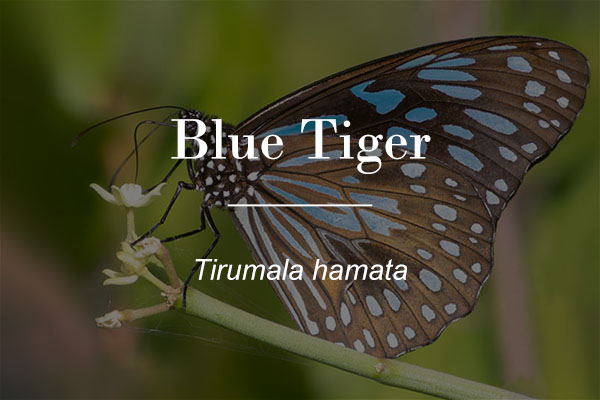 Blue tiger (Tirumala hamata) button
