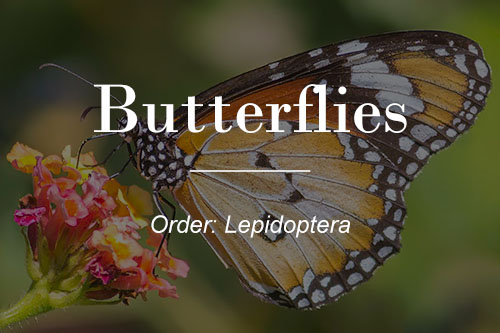 Australian Butterflies button - Lesser Wanderer Butterfly
