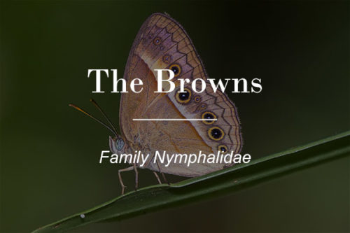 The Browns - Family nymphalidae button