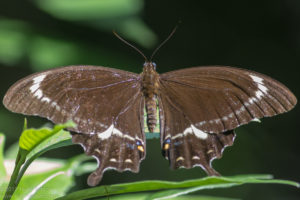 Fuscous swallowtail butterfly (Papilio fuscus) -male