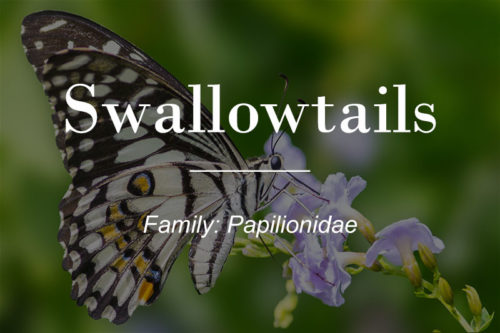 Family Papilioniday or Swallowtails - Checkered Swallowtail butterfly