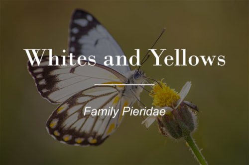 Pieridae - Whites and Yellows (Family Pieridae) button