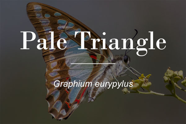 Image button - Pale Triangle butterfly