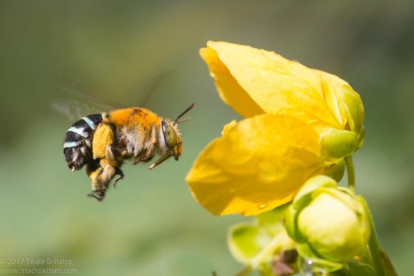 Blue-banded Bee (Amegilla cingulata) hovering at Senna gaudichaudii flower