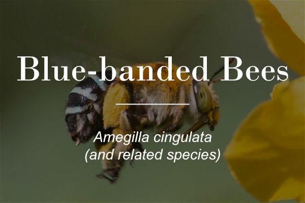 Blue banded bee - Amegilla cingulata - featured image