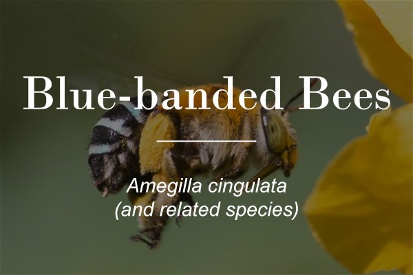 Blue banded bee - Amegilla cingulata - featured image