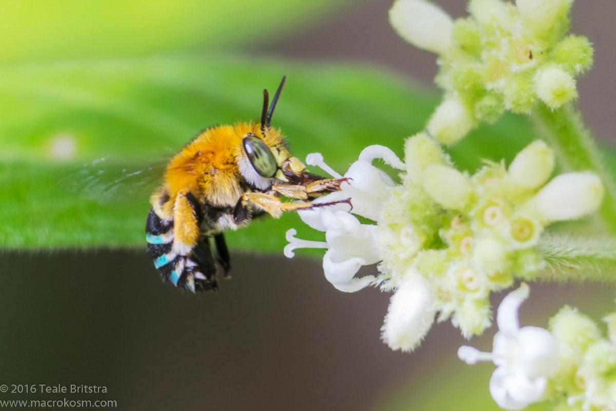Common Blue-Banded Bee (Amegilla cingulata), Tondoon Botanic Gardens, 03112016