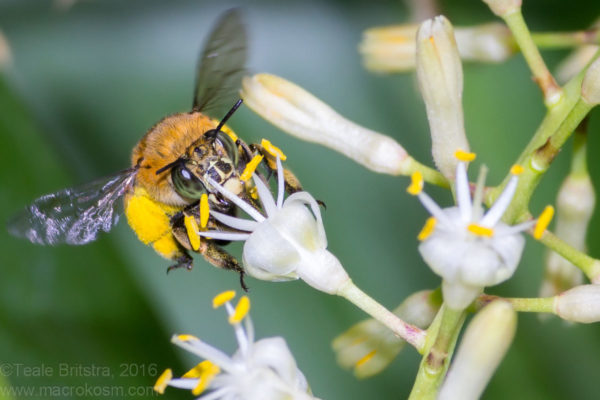 Female Blue-banded bee (Amegilla cingulata)(Note wide facial markings) and Cordyline flower