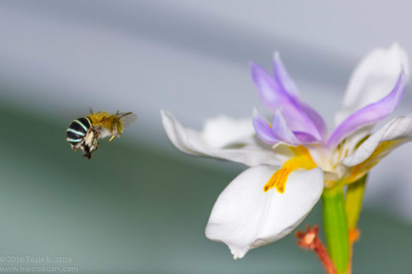 A Blue-Banded Bee (Amegilla cingulata) on its way to raid one of the Iris flowers (Dietes sp.) in my front garden.