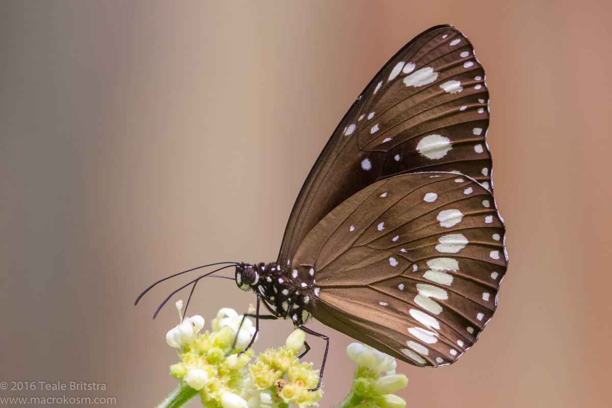 Common crow butterfly on Psychotria flower