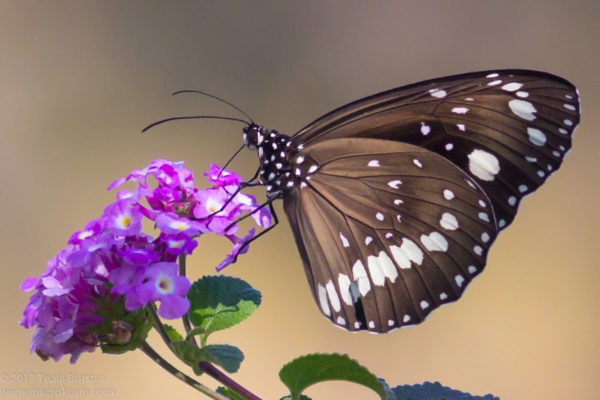 Common Crow Butterfly (Euploea corinna) on Creeping Lantana flower