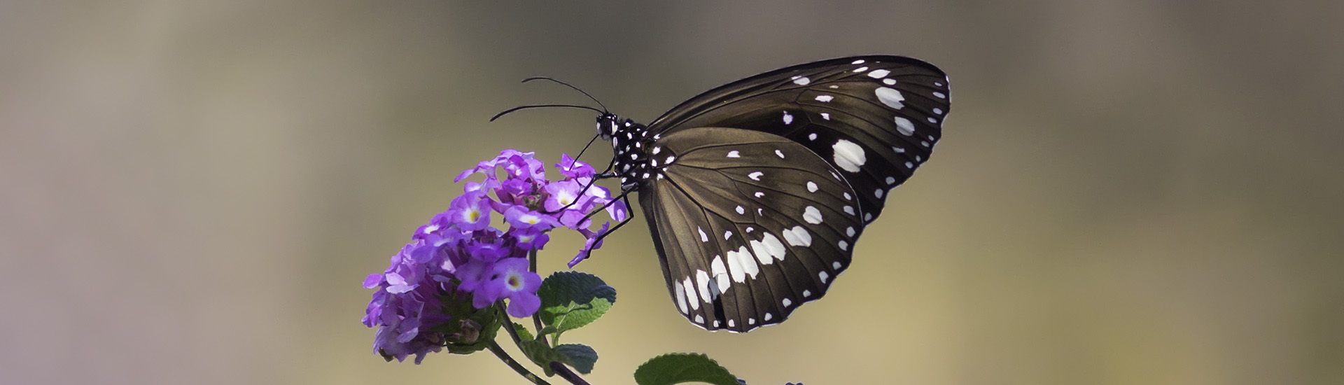 The Common Crow Butterfly (Euploea corinna)
