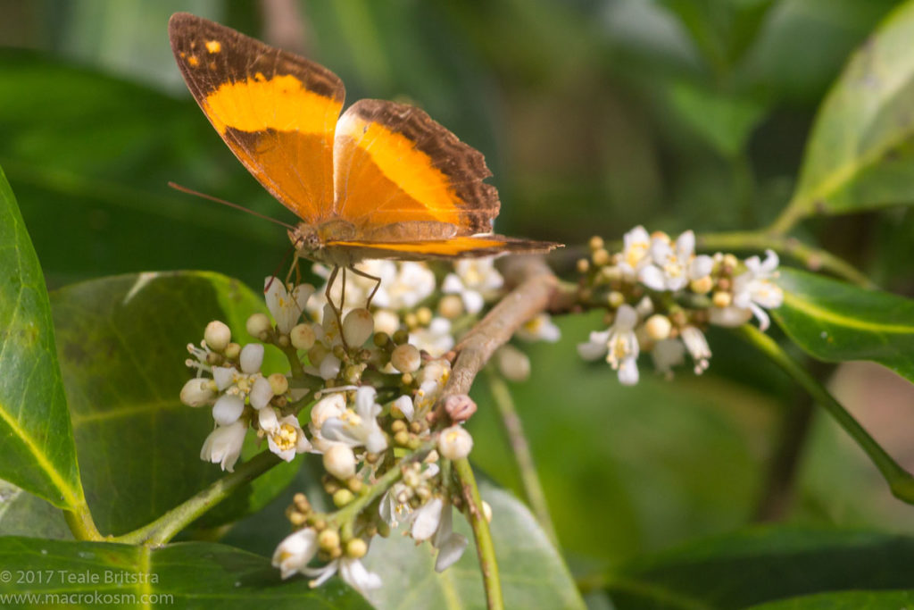 Australian Rustic butterfly (Cupha prosope) on pink-fruited Lime berry (Glycosmis trifoliata) flowers