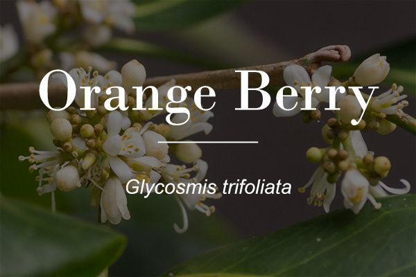 Orange Berry (Glycosmis trifoliata) - flowers featured