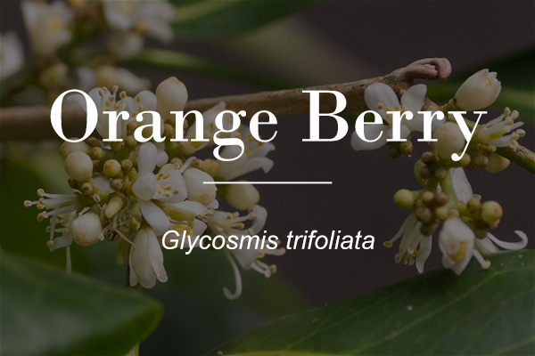 Orange Berry (Glycosmis trifoliata) - flowers featured