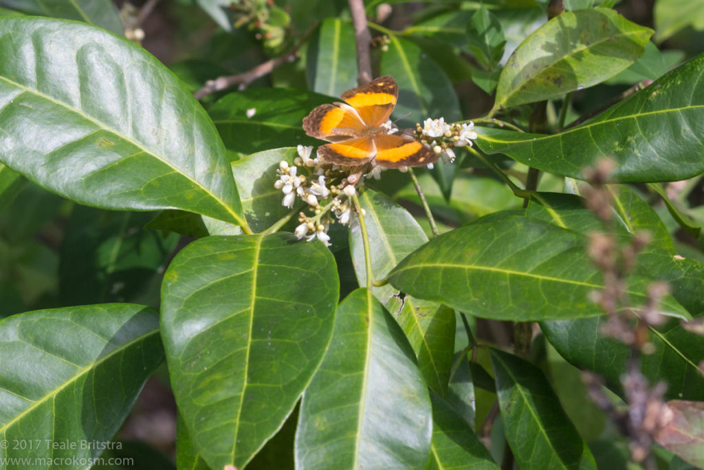 Orange berry - glycosmis trifoliata - flowers and leaves